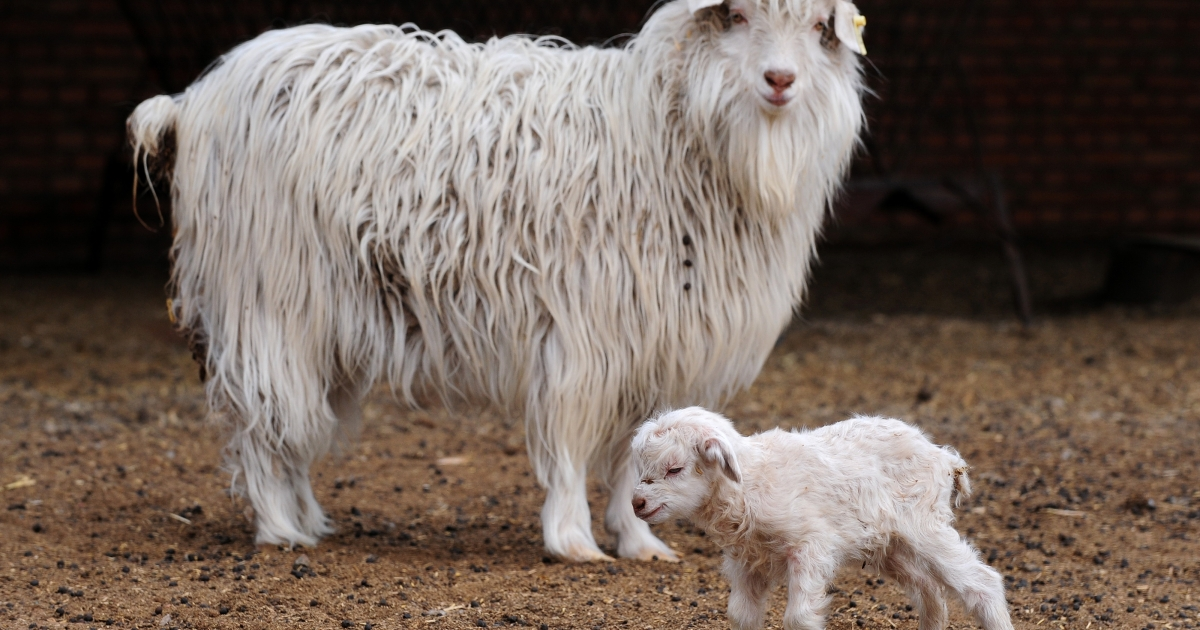 Scientists in Kashmir cloned a rare Himalayan goat in an effort to increase cashmere production.</p>