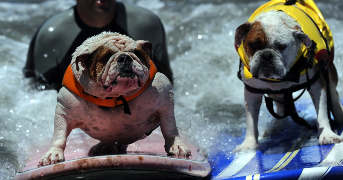 Dogs compete during the during the 6th annual Loews Coronado Bay resort surf dog competition in Imperial Beach, near San Diego on June 4, 2011.</p>
