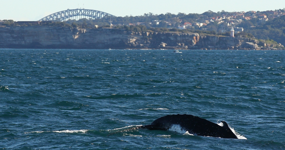 A humpback whale is seen at the beginning of whale watching season during a Manly Whale Watching tour on June 23, 2011 in Sydney, Australia.</p>
