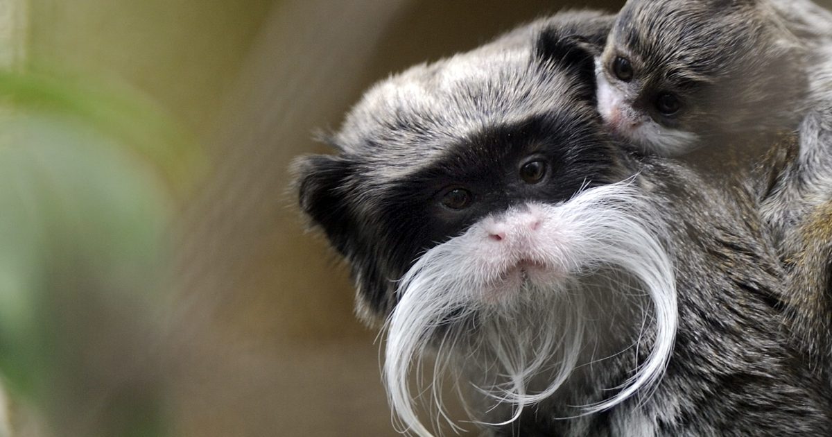A 3-month-old pied tamarin (Saguinus bicolor) with its mother in their enclosure at the zoo in Mulhouse, northeastern France. Environmentalists say these creatures are threatened by Brazil's rapid expansion.</p>
