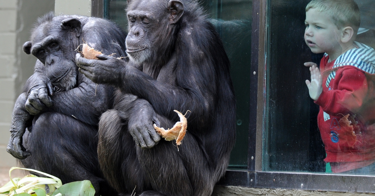 A child watches chimpanzees sharing a coconut in their newly renovated habitat at Taronga Zoo in Sydney on September 30, 2011.</p>
