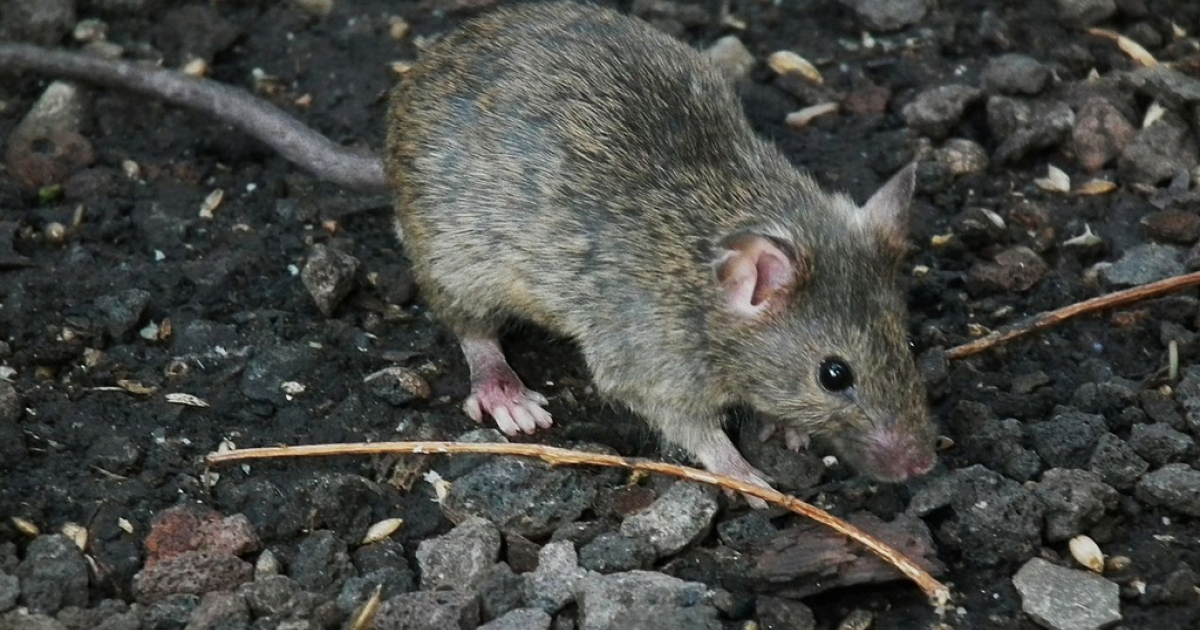 A species of house mouse found in Greenland, Iceland and Newfoundland is traced back to the Viking arrival, a new study says.</p>