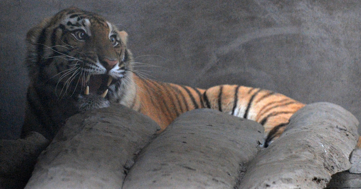 Five men were rescued in Sumatra after they were held hostage by tigers up a tree for five days.</p>
