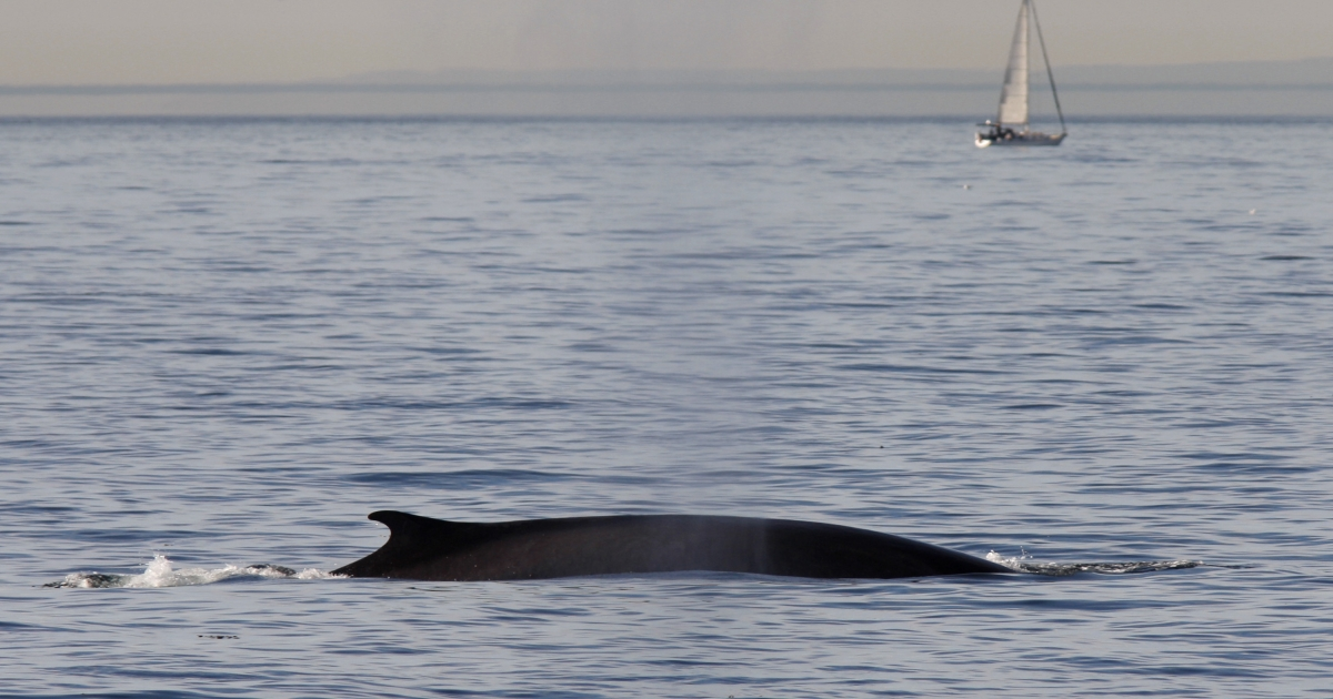 A new study shows that whale communication is impaired by shipping lane traffic noise.</p>