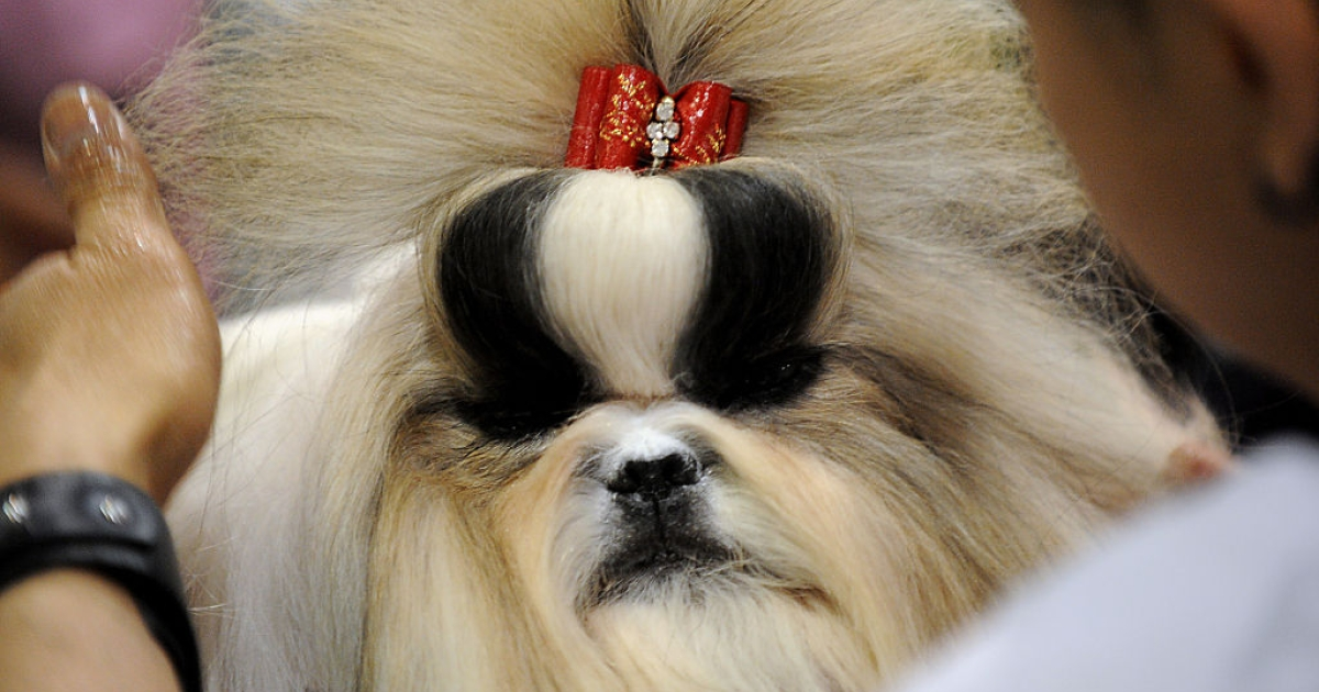A Shih Tzu dog receives grooming prior to a competition at the Asia-Pacific Dog Show in Manila on February 24, 2012. The show, organized by the Philippine Canine Club, is being held to promote and encourage love for purebred dogs, and will run until February 26.</p>