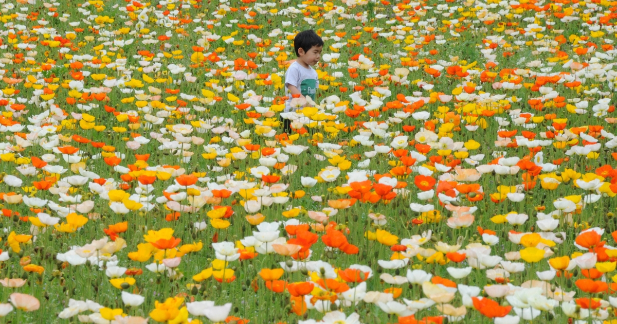 A boy plays amid Iceland poppies in full bloom at a park in Tokyo on April 30, 2012.</p>