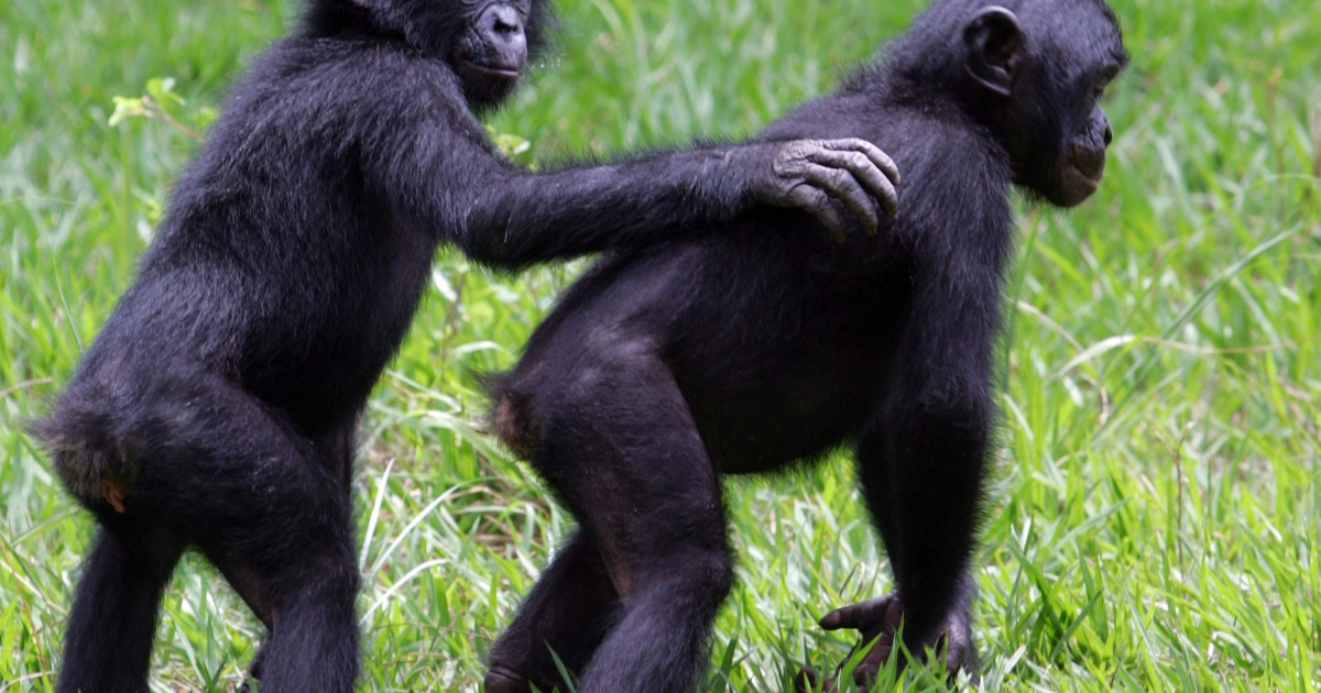 Young bonobos play together in the