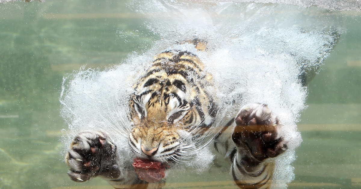 A tiger in a zoo in Cologne, Germany escaped Saturday and killed a zookeeper.</p>