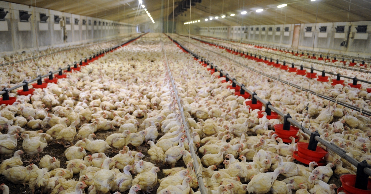 Joshua D. Shelton killed 70,000 chickens following a night of binge drinking.</p>