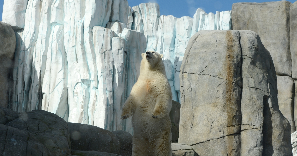 A polar bear stands during feeding at Hagenbeck Zoo in Hamburg, northern Germany, on October 10, 2012. The new Eismeer (polar sea) has been open for 100 days at the zoo.</p>