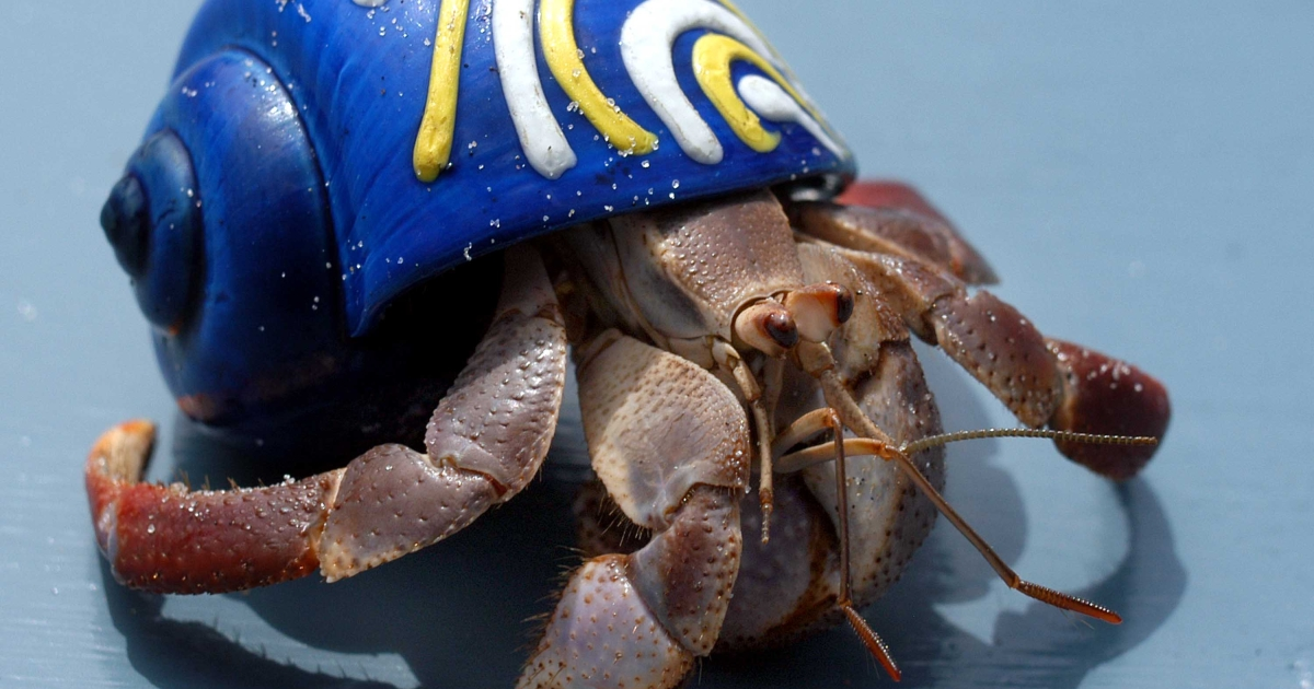 A hermit crab competes during the 28th Annual Miss Crustacean Pageant and Hermit Crab Races August 6, 2003 in Ocean City, New Jersey.</p>