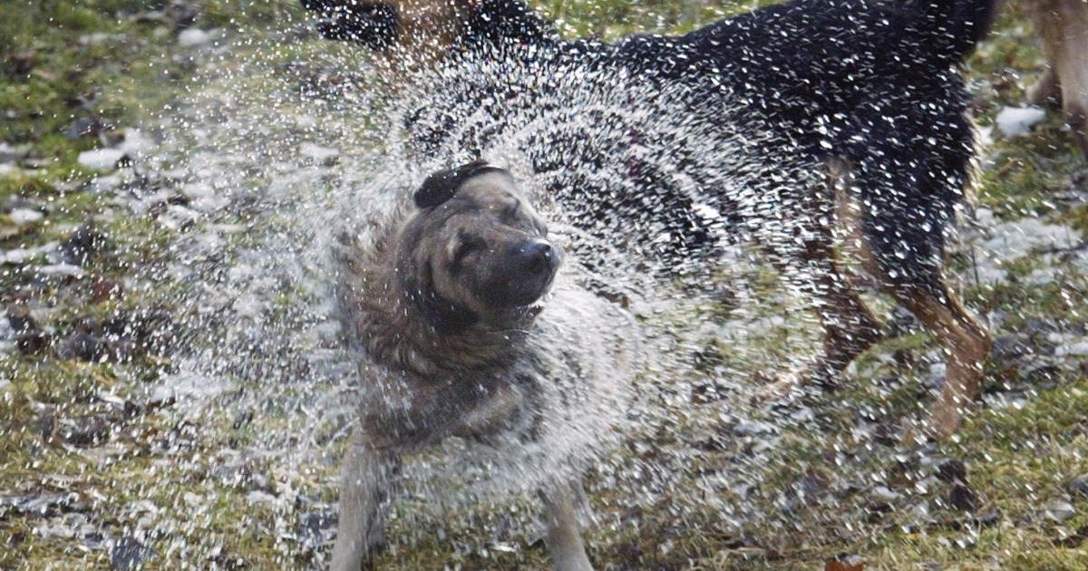 A wet dog shaking itself dry is in fact a feat of evolution says a new study.</p>