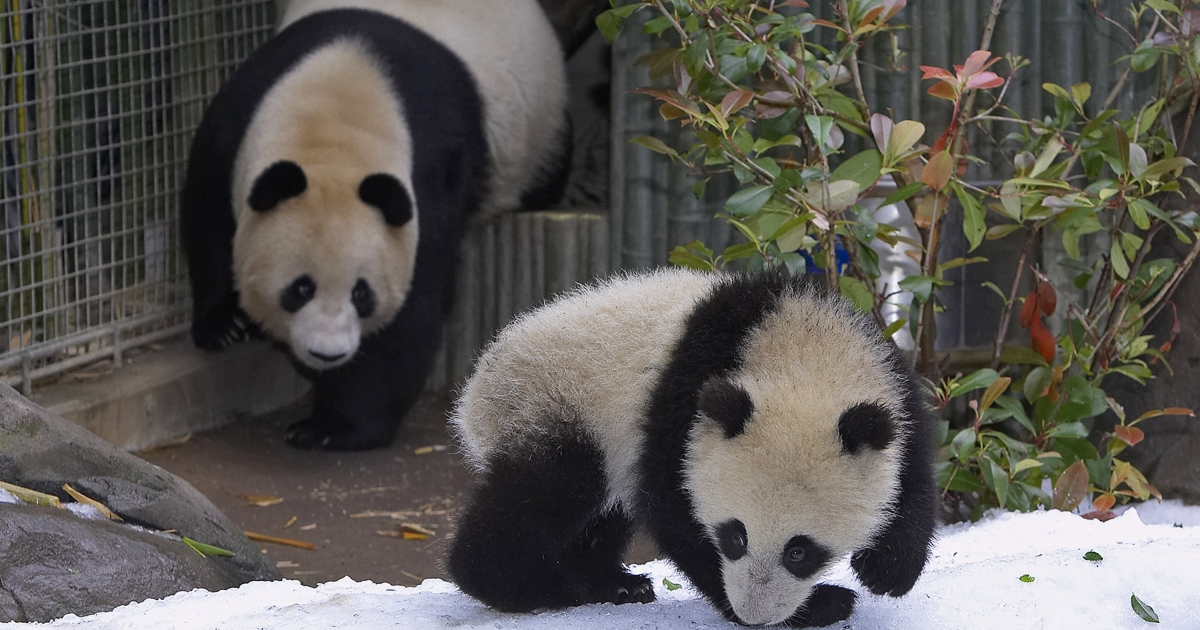 Giant pandas Bai Yun and her 9-month-old offspring, Su Lin, celebrate Mother's Day at the San Diego Zoo with a flurry of snow on May 14, 2006 in San Diego, California.</p>