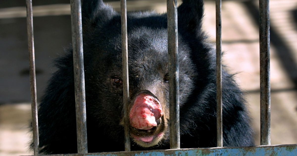 A town in Newfoundland, Canada have been besieged by hungry black bears.</p>