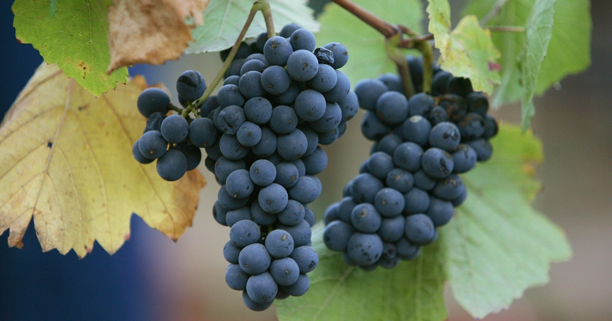 A new study confirms that red wine has anti-aging properties due to the presence of chemical resveratrol.</p>