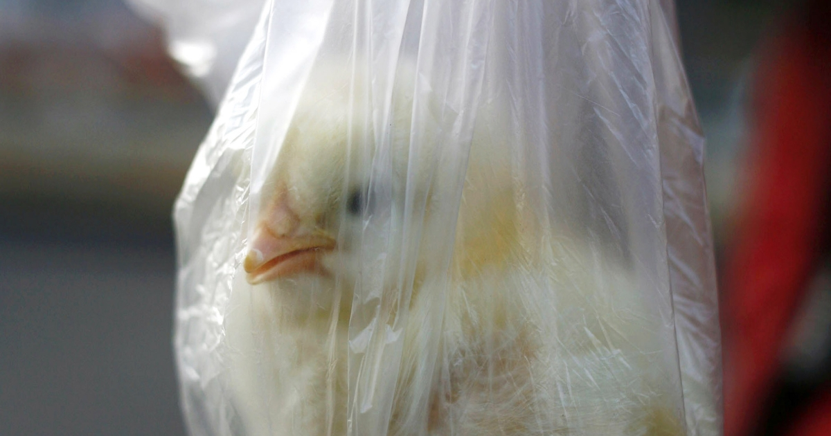 A new report said one US mail order hatchery caused hundreds to fall ill with salmonella.</p>