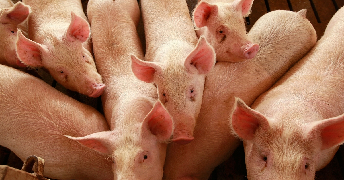 A 70-year-old Oregon farmer was devoured by his own hogs last week.</p>