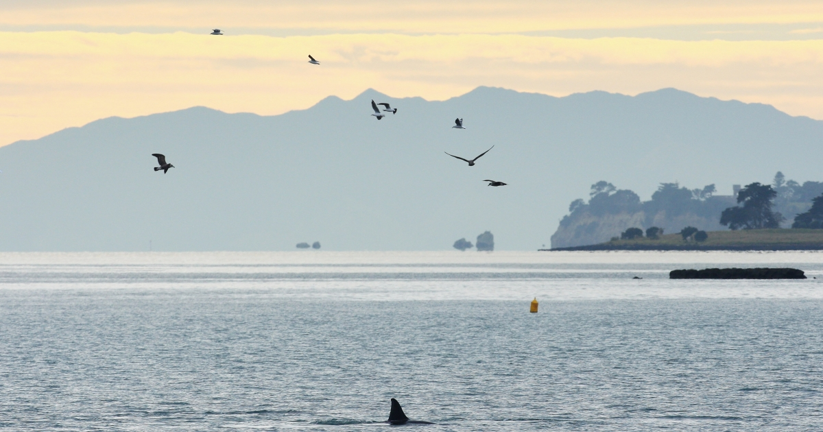 A pod of whales are seen off St Heliers Bay near Auckland, on New Zealand's north island.</p>
