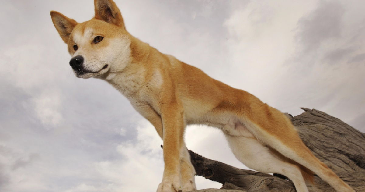 A Dingo stands in an enclosure at the Dingo Discovery and Research Center at the Toolern Vale in rural Victoria, near Melbourne, where she is breeding dingoes for export to zoos around the world, on May 25, 2009.</p>