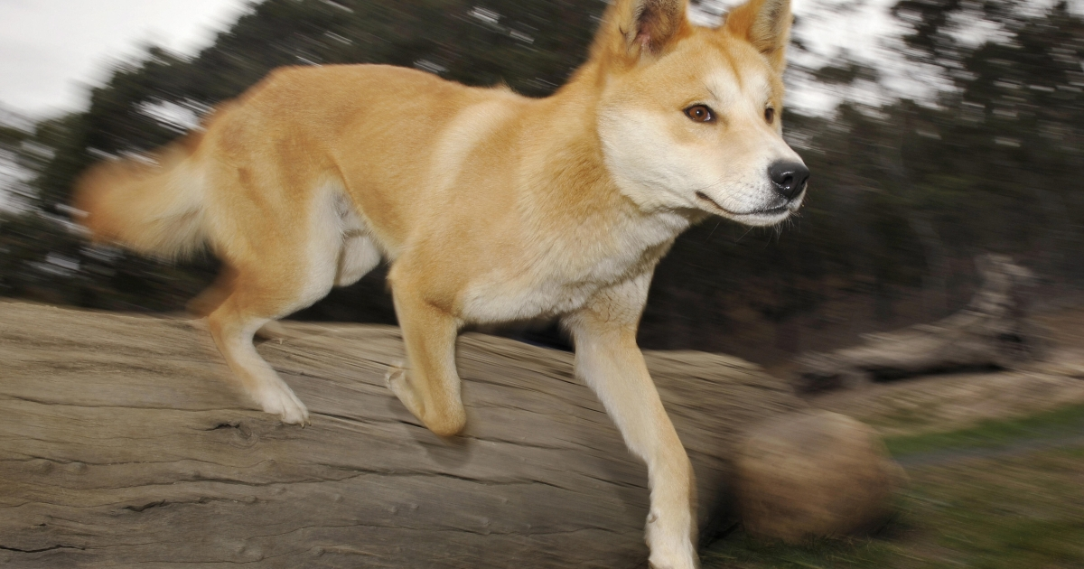 A dingo runs at the Dingo Discovery and Research Centre at the Toolern Vale in rural Victoria, some 60 kilometres north-west of Melbourne, where she is breeding dingoes for export to zoos around the world, on May 25, 2009.</p>