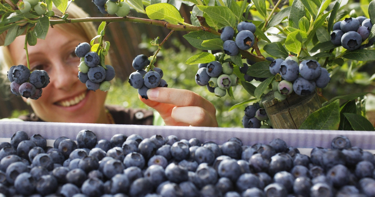 A new study says that eating blueberries and strawberries improves memory in women.</p>