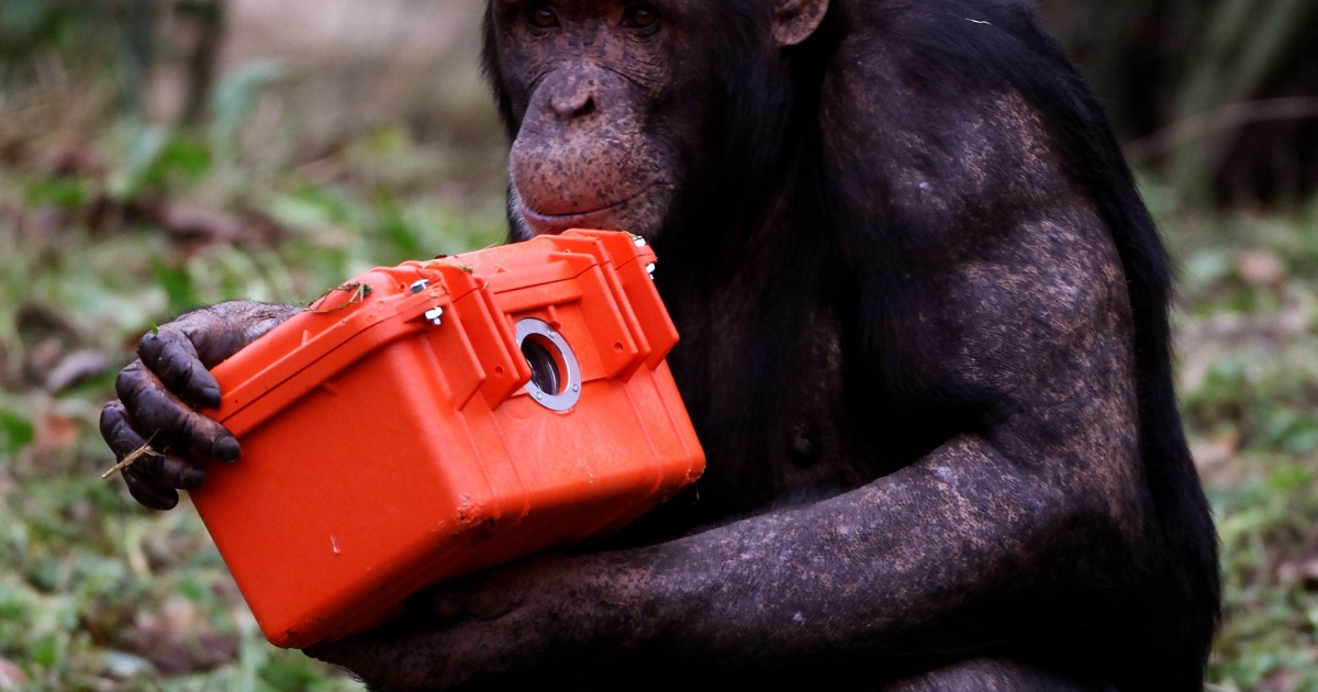 A new study has shown that like humans, chimps may have midlife crises too.</p>