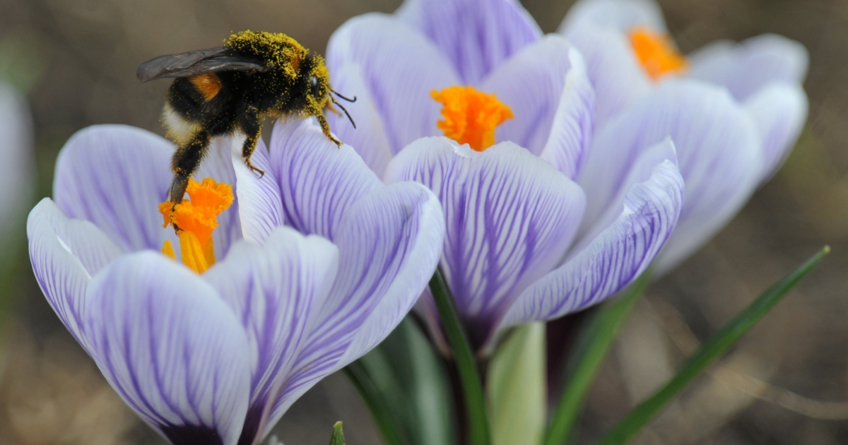A new study shows that bumble bees use old-fashioned trial and error to find flowers.</p>