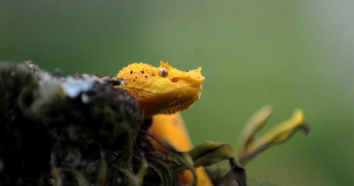 A South American pitviper — this one, a poisonous Eyelash palm-pitviper, pictured at the serpentarium of the Clodomiro Picado Institute in Coronado, some 8 kilometers northwest of San Jose, Costa Rica.</p>