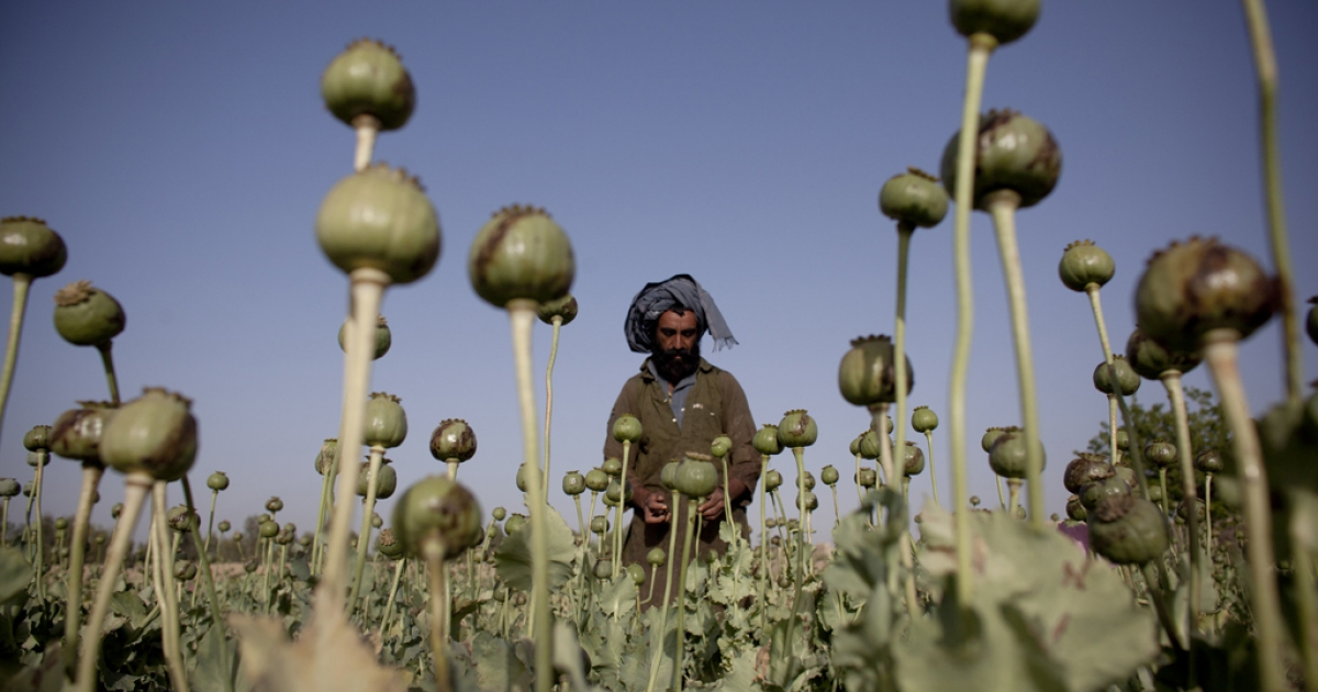 An Afghan man cultivates poppy bulbs at a farm in early May, 2011 near the city of Kandahar, Afghanistan. Myanmar is second to Afghanistan in opium production, according to a UN report released Oct. 31, 2012.</p>