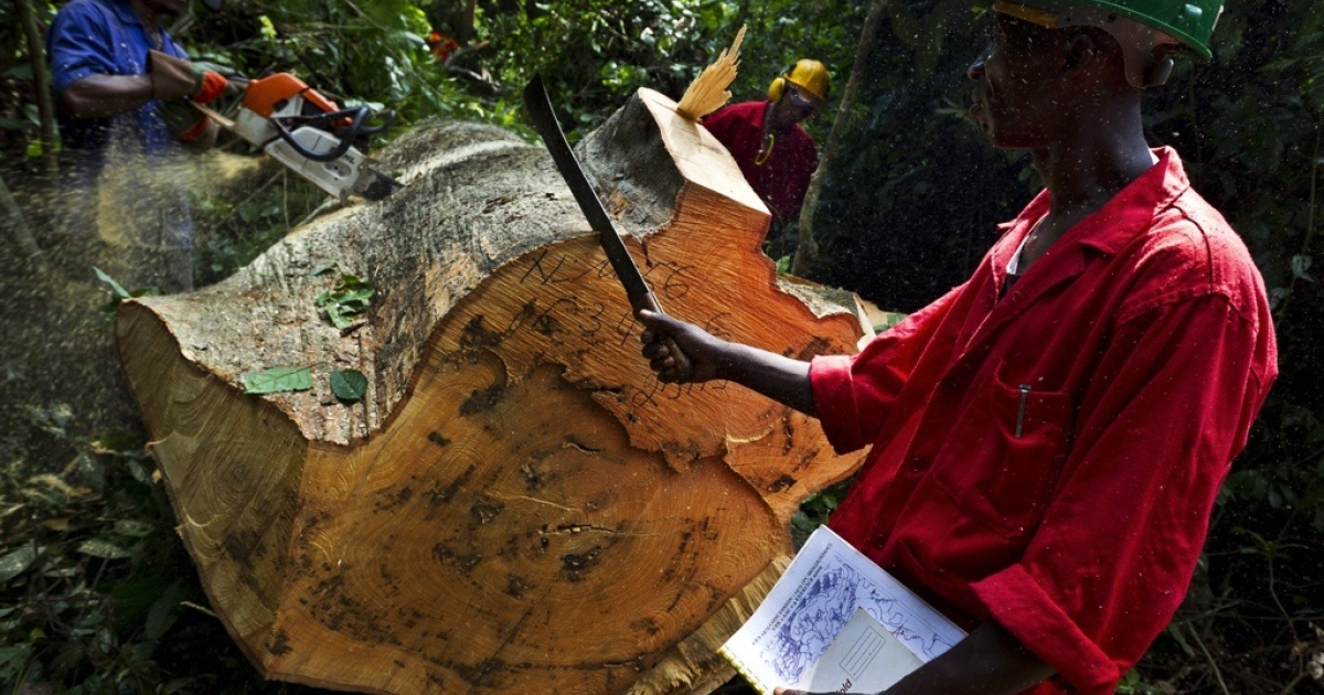 Sustainable logging being carried out in the natural forest around the Alpicam logging concession in the Kika region of Cameroon, June 8, 2010. This is a sustainable logging project but a great deal of Africa's forests are being stripped by illegal logging, according to a new report by the World Bank.</p>
