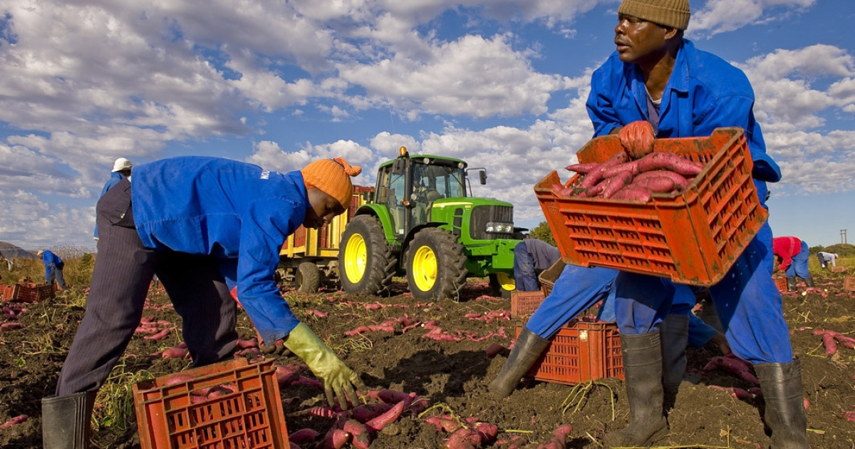 Workers digging up sweet potatoes in a farm in Brits, near Pretoria, in South Africa.</p>