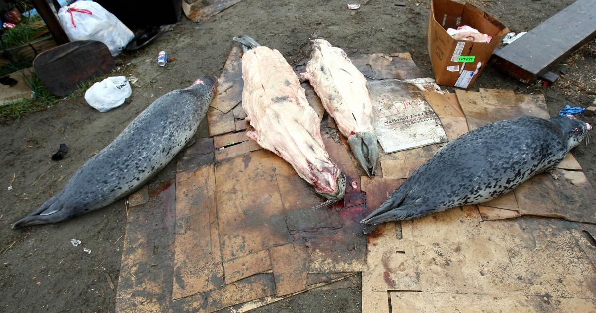 Spotted seals are prepared for butchering in 2006 in Shishmaref, Alaska.</p>