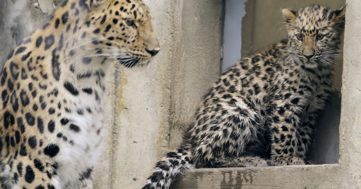 'Kathanga', a four-month-old Amur leopards (Panthera pardus orientalis) explores its enclosure next to its mother on July 8, 2011 at the zoo in Mulhouse, northeastern France. Every year there are about 250 to 350 births at the Mulhouse zoo. Some young animals, once weaned, can be introduced in protected zones of their original region. If not, they go to other zoos to make up other families. Genetic mixing is necessary for the animals' health and the survival of the species.</p>