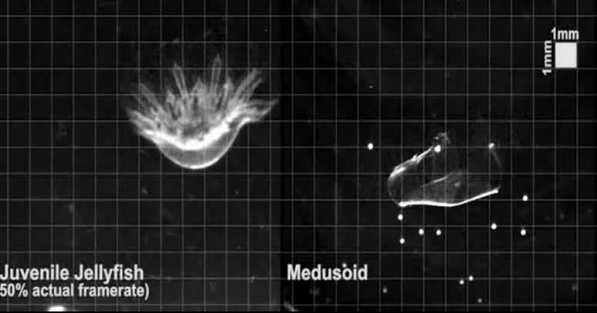 The robot jellyfish (R) swims through water just like a real jellyfish.</p>