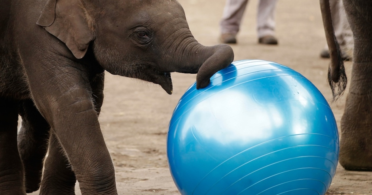 An Asian elephant calf plays with a ball at Taronga Zoo on July 4, 2010.</p>