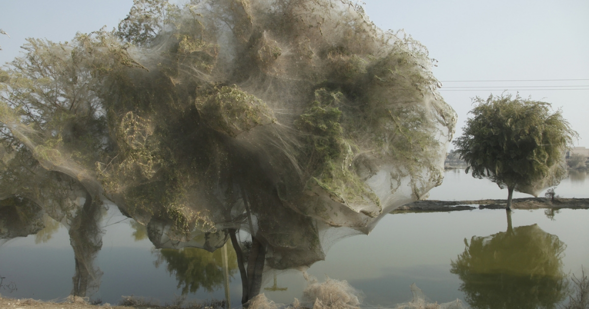 Following the 2010 floods in Sindh, Pakistan, spiders climbed into branches and covered entire trees in silk. A similar phenomenon seems to be occurring in Wagga Wagga, Australia.</p>