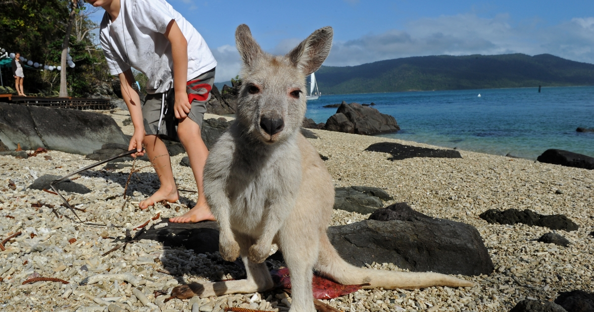 Coen, age 8, tries to befriend a rare albino kangaroo on Daydream Island off the northeastern Australian state of Queensland, on July 11, 2010.</p>