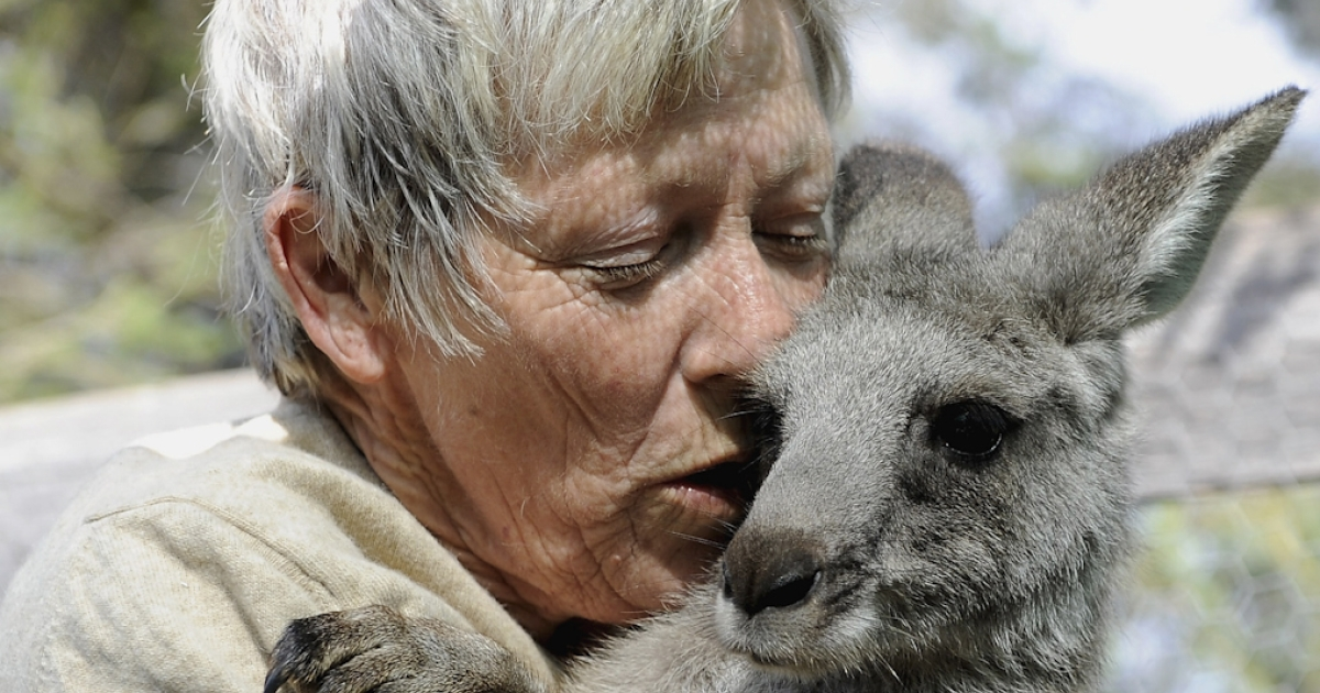 A joey rescued from a bushfire is cared for in Gisborne, Australia. Kangaroos rarely attack humans, but Australian police had to use pepper spray to fight off a rogue kangaroo that recently attacked a 94-year-old woman in her backyard.</p>