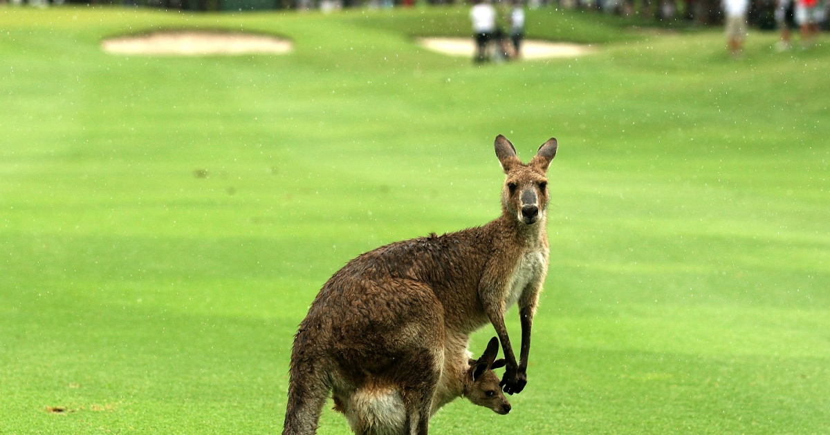 A kangaroo and it's joey are seen on the fairway during day four of the Australian PGA Championship at the Hyatt Regency Coolum on December 12, 2010 at the Sunshine Coast, Australia.</p>