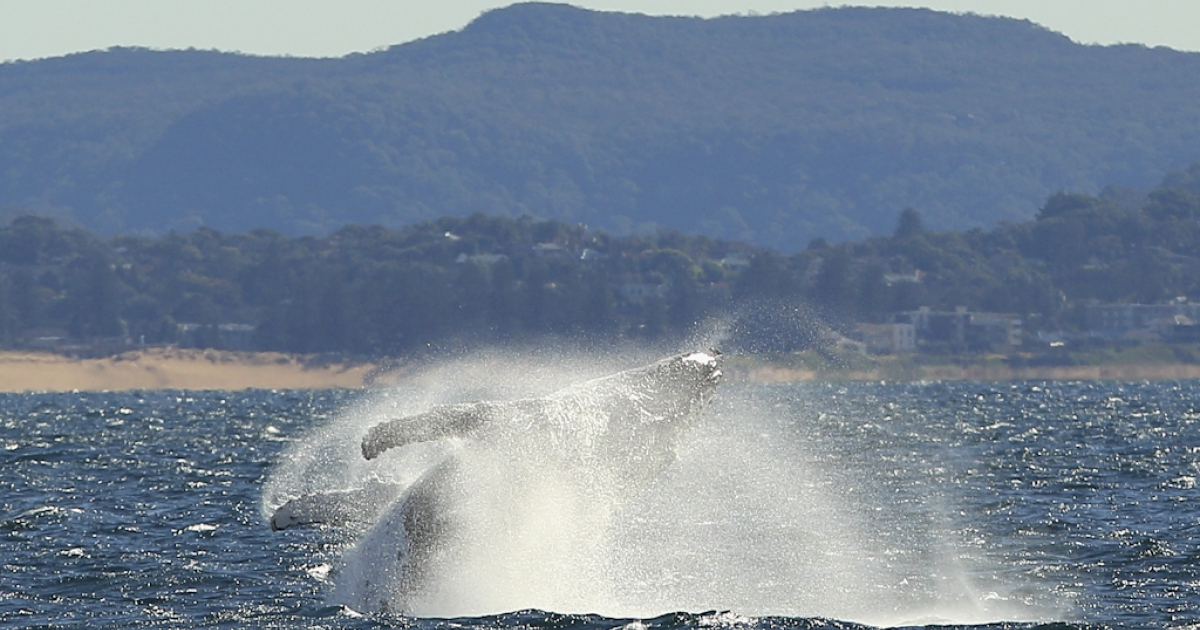 A humpback whale breaches off Sydney's northern beaches at the beginning of whale watching season on June 23, 2011 in Sydney, Australia. The first day of winter in New South Wales, June 1, marks the start of the humpback and southern right whales' migration from southern regions to warmer waters in the north. The migration north continues through July, with the whales returning between September and November.</p>