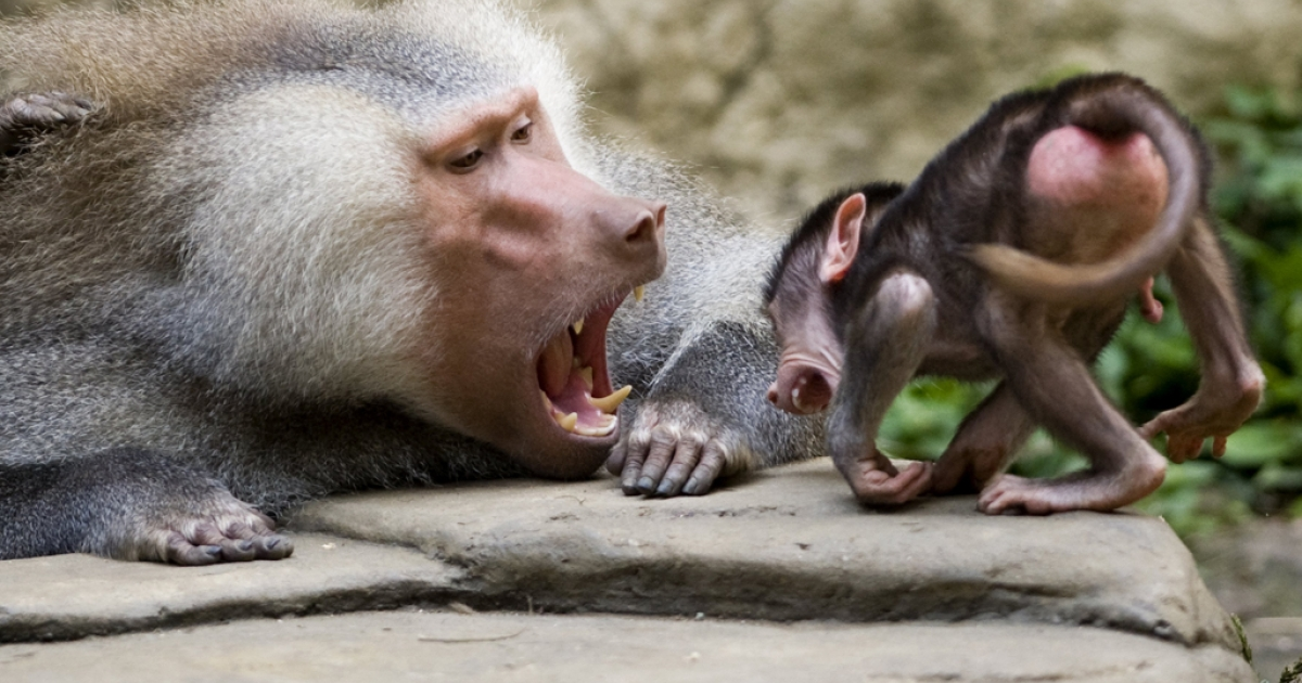 French researchers found that baboons can distinguish between four-letter words and nonsense letter combinations, in findings published on April 12, 2012 in the journal Science.</p>