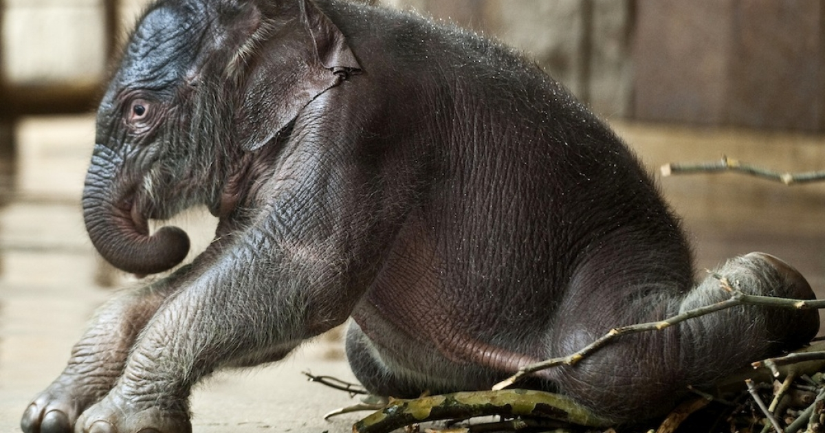 Newborn elephant baby 'Dimas' tries to get up in its enclosure on March 19, 2010 at the Tierpark Berlin-Friedrichsfelde zoo.</p>