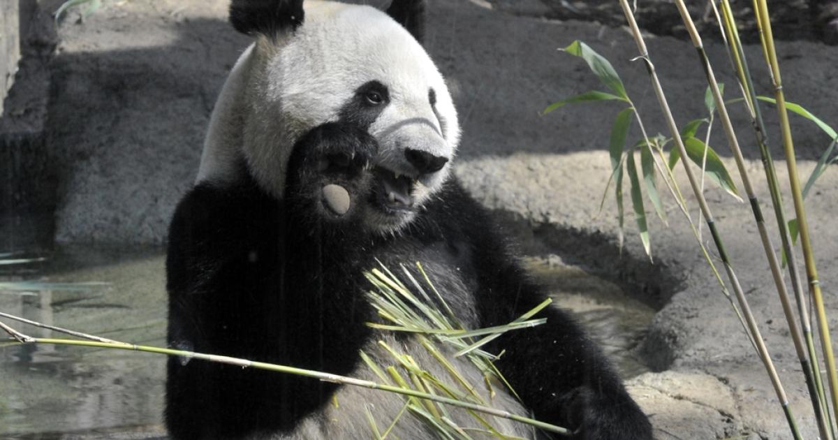 Female giant panda Shin Shin eats bamboo at Tokyo's Ueno Zoo on April 1, 2011. Shin Shin gave birth to a baby panda on July 5, 2012, making it the first baby panda birth in Ueno Zoo in 24 years.</p>