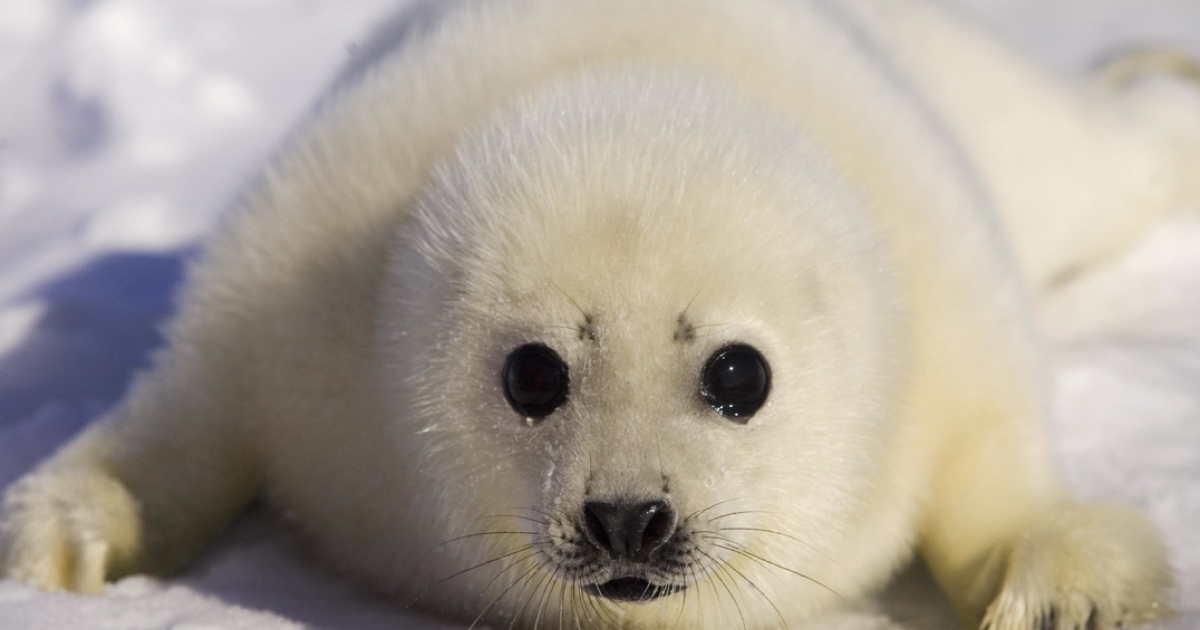 A baby seal in Charlottetown, Canada mugs for the camera.</p>