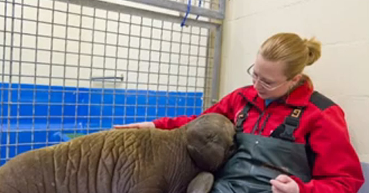 A staff member comforts an orphaned walrus calf at the Alaska SeaLife Center in Seaward.</p>