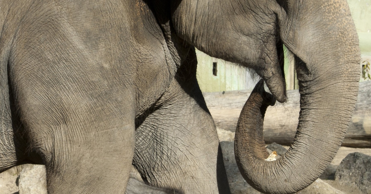 Win Thida, a Burmese elephant in Amsterdam, was fitted for a contact lens after injuring her eye.</p>