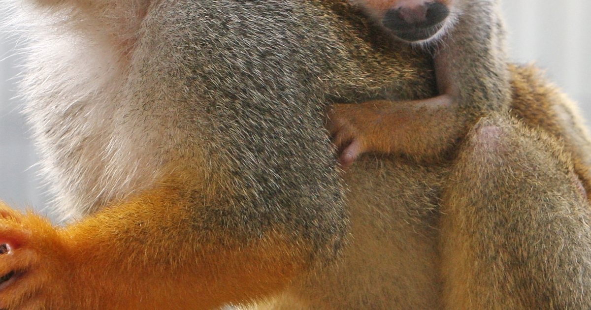 Banana Sam, a squirrel monkey, was stolen from the San Francisco Zoo.</p>