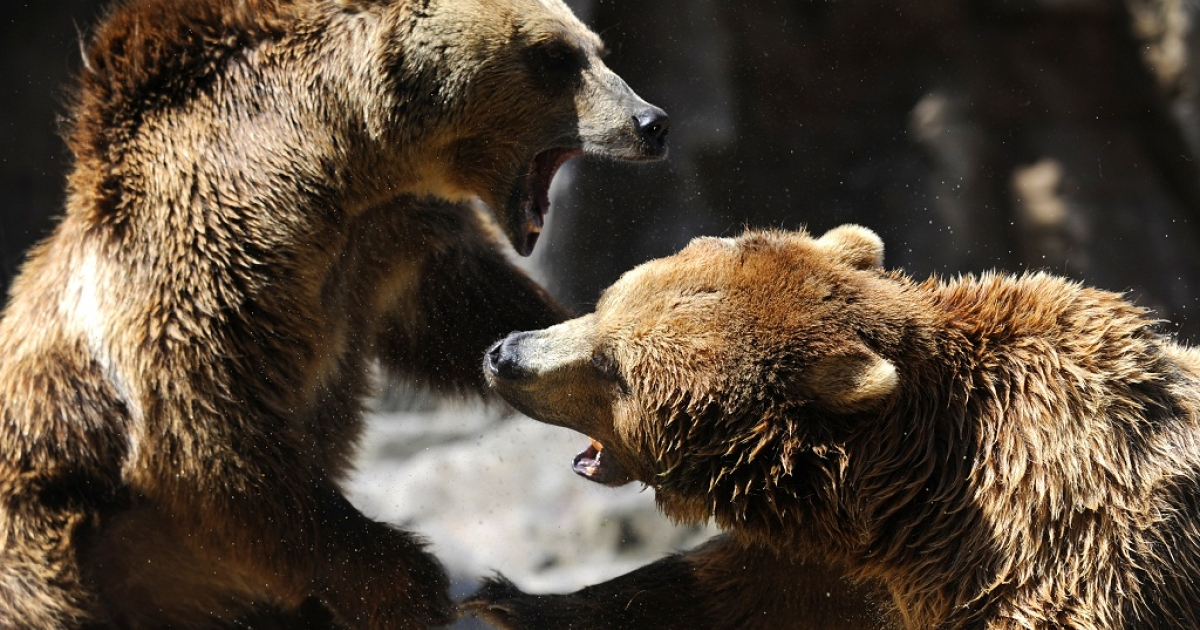 Several hundred grizzly bears, which can weigh as much as 600 pounds each, call Yellowstone National Park and the surrounding area home.</p>