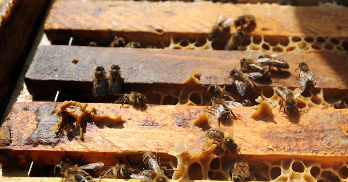 Beekeepers near Alsace, France say waste from an M&amp;M factory nearby is changing the color of the honey produced by their bees.</p>