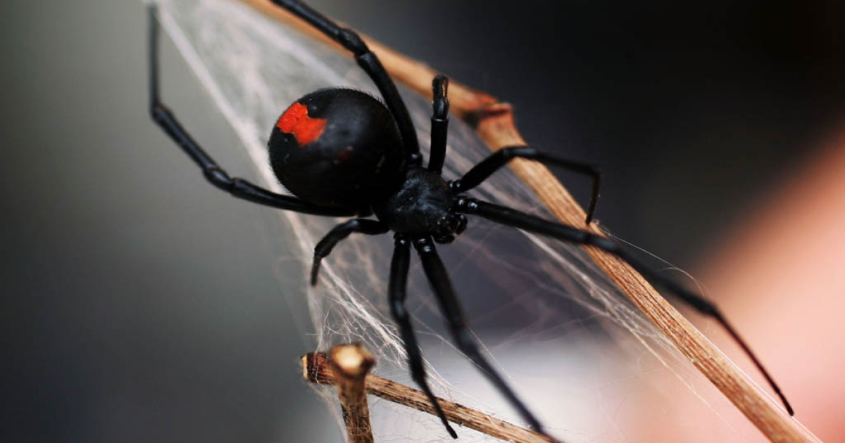 A hot steamy summer and mild winter are breeding a population boom in black widow spiders. The notorious bugs are identified by a colored hourglass-shaped mark on black bodies. There are several species of the spider that go by the name 'black widow' including the Australian Redback Spider.</p>